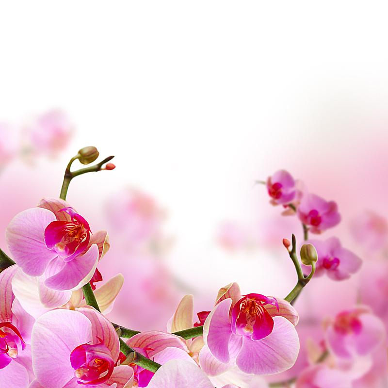 兰花,夏天,粉色,花朵,背景,自然美,美,贺卡,留白,公园