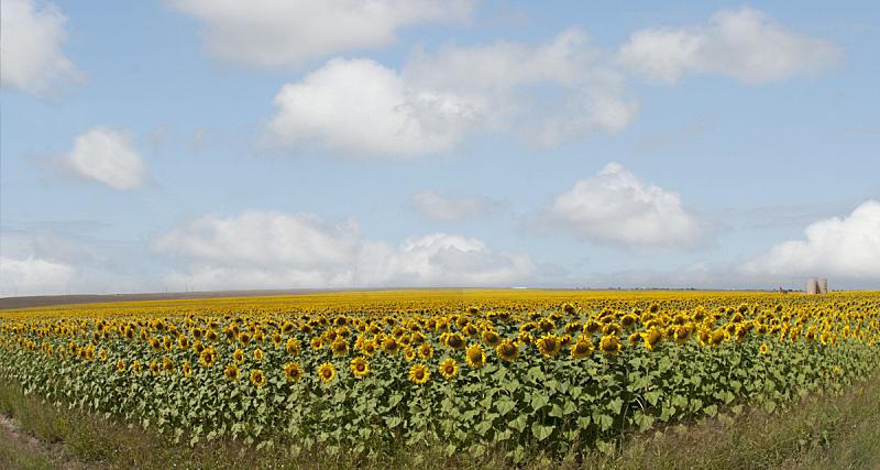 田地,向日葵,向日葵属 ,天空,水平画幅,无人,户外,农作物,植物,科罗拉多州