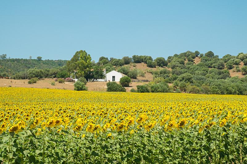 农场,向日葵,草地,水平画幅,地形,无人,户外,农作物,田地,植物