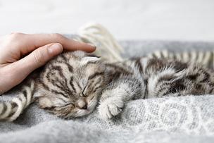 小猫,苏格兰折耳猫,猫,宠物,柔和,毯子,灰色,苏格兰,折叠的,青少年