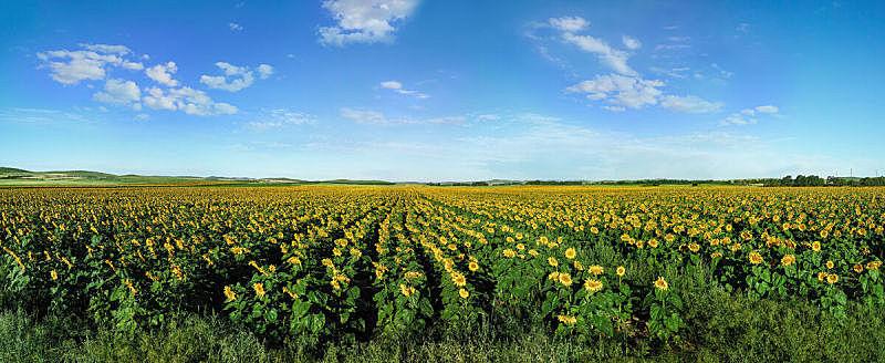 田地,向日葵,早晨,巨大的,美,水平画幅,无人,夏天,户外,开花时间间隔
