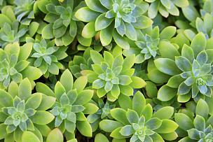 肉质植物,美,禅宗,风车厂,水平画幅,形状,无人,情人节,夏天,户外