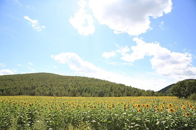 向日葵,天空,美,水平画幅,云,山,无人,巨大的,夏天,户外