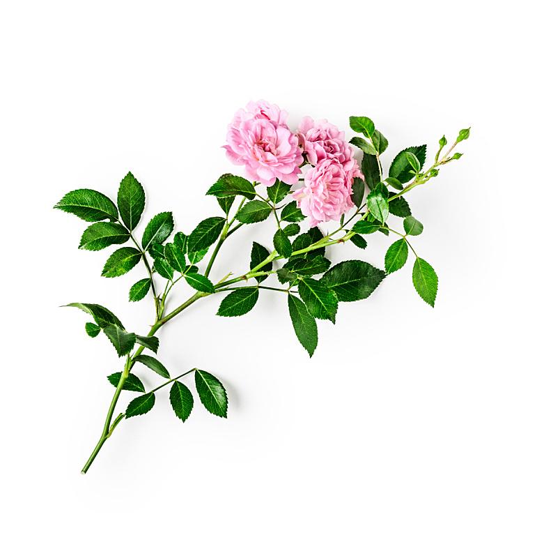 玫瑰,粉色,剪贴路径,清新,自然界的状态,一个物体,背景分离,春天,植物,夏天