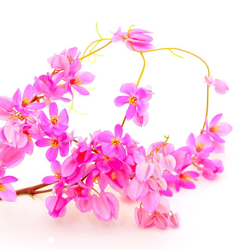 有蔓植物,珊瑚,蓝花藤,檀香山,珊瑚色,链,芳香的,无人,夏天,花蕾