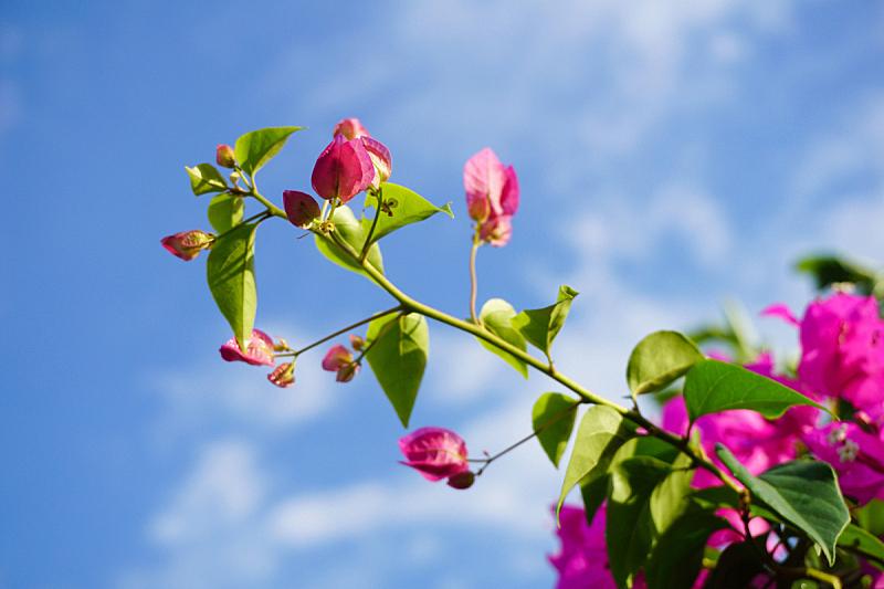 粉色,三角梅,自然,美,水平画幅,绿色,枝繁叶茂,户外,特写,泰国
