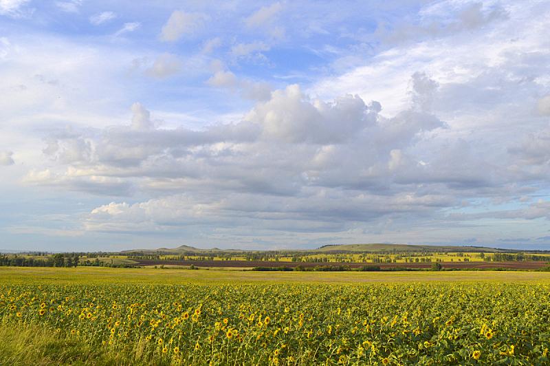 田地,向日葵,农业,自然,黄色,图像,无人,植物,夏天,户外