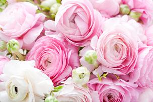 毛莨科,白色,粉色,特写,毛莨属植物,毛茛属植物,美,水平画幅,色彩鲜艳,浪漫