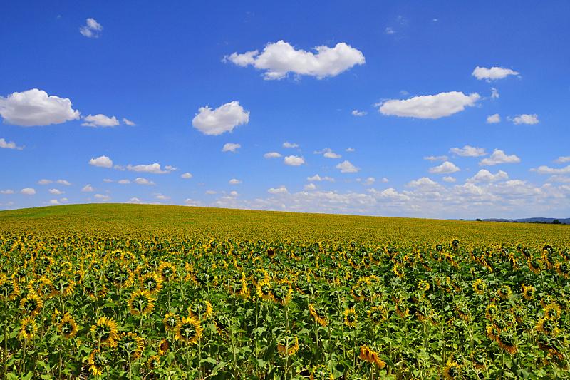 农场,向日葵,单一栽培,天空,水平画幅,无人,户外,云景,田地,植物