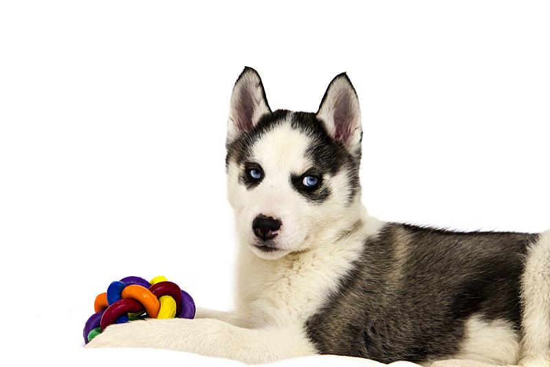 小狗,西伯利亚哈士奇犬,美,纯种犬,水平画幅,可爱的,家畜,无人,幼小动物,影棚拍摄