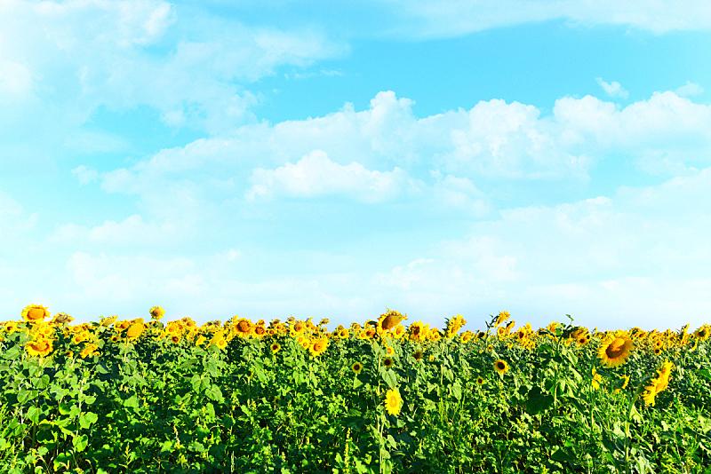 田地,向日葵,天空,水平画幅,无人,夏天,户外,仅一朵花,开花时间间隔,活力