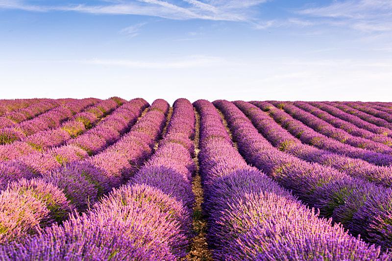 普罗旺斯瓦伦索高原,田地,熏衣草,法国,紫色,阿尔卑斯上普罗望斯省,薰衣草色,美,芳香的,水平画幅