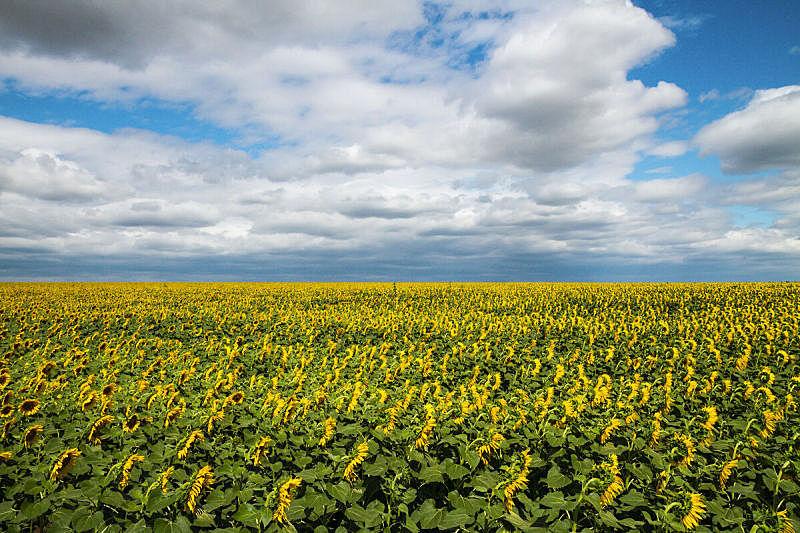 向日葵,天空,水平画幅,绿色,景观设计,雄蕊,无人,蓝色,花序,研磨器