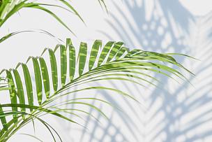 白色,墙,阴影,棕榈叶,枝繁叶茂,棕榈树,热带气候,光,植物学,自然现象