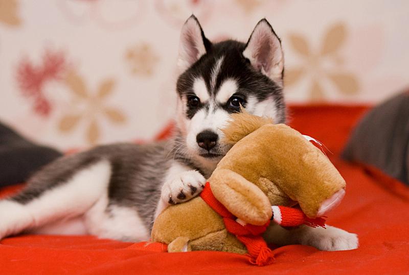 可爱的,小狗,水平画幅,哺乳纲,友谊,幼兽,看,人的脸部,卧室,雪橇犬