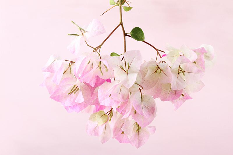 枝,粉色,花朵,自然,美,留白,宁静,水平画幅,散焦,夏天