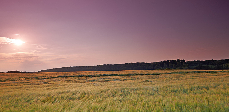 小麦,农作物,天空,水平画幅,无人,早晨,夏天,户外,草,云景