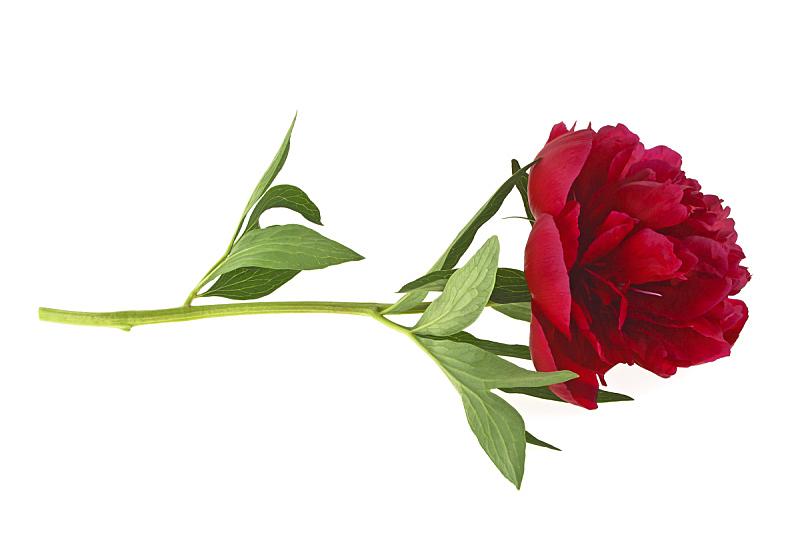 牡丹,红色,白色背景,分离着色,美,水平画幅,符号,夏天,工作室,花蕾