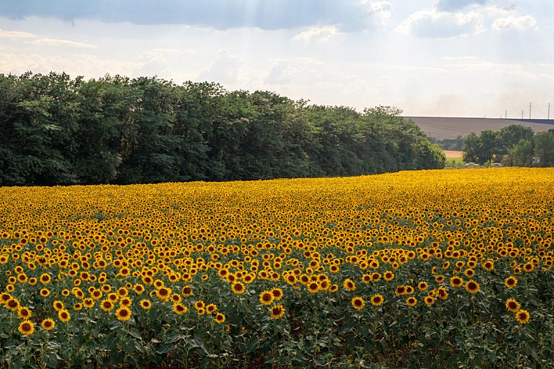 向日葵,田地,天空,蓝色,水平画幅,无人,夏天,户外,草,特写