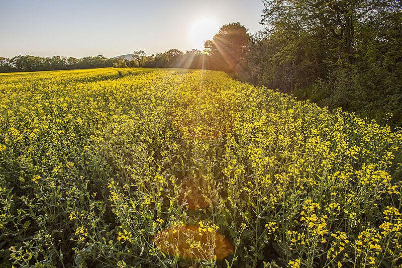 田地,油菜花,天空,水平画幅,无人,夏天,户外,特写,农作物,植物
