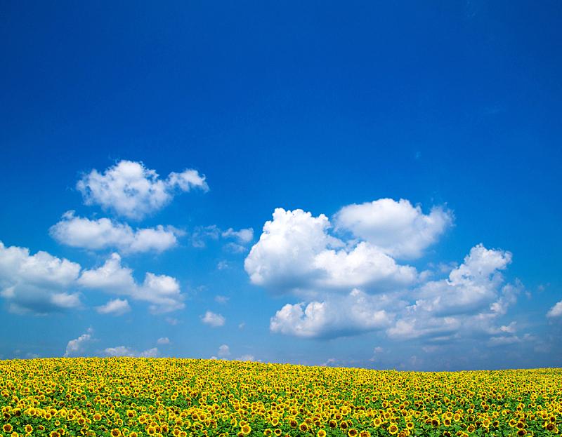 向日葵,自然,天空,水平画幅,无人,蓝色,有机食品,乌克兰,夏天,户外