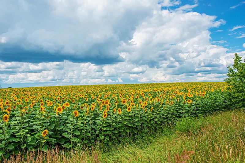 天空,曙暮光,云景,种植园,向日葵,自然美,毛绒绒,修改系列,黄绿色,日落
