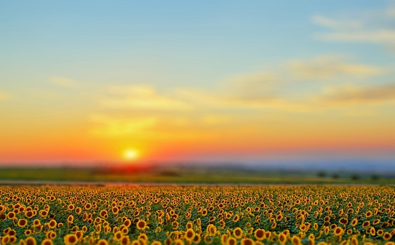向日葵,田地,天空,夏天,光,农作物,相机,黎明,抽象背景,花头