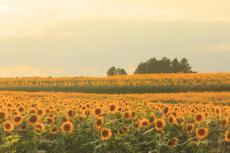 向日葵,田地,水平画幅,无人,色彩鲜艳,黄色,植物学,日光,夏天,摄影
