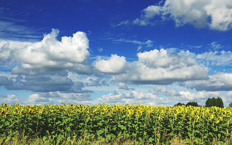 天空,向日葵,背景,田地,多云,蓝色,夏天,明亮,风景,植物学