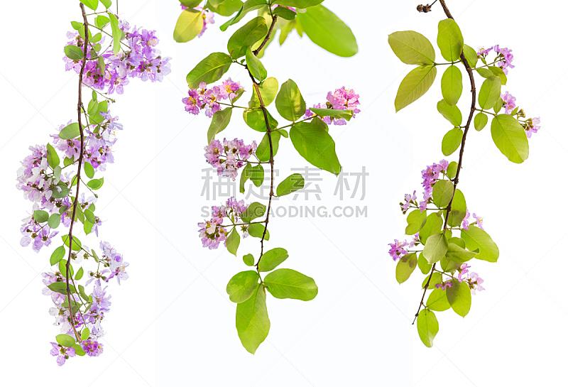 泰国,互联网,接力赛,开花植物,花束月季,鸡尾酒,吉打州,家庭,动物,花