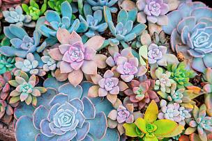 小的,多肉植物,水平画幅,无人,园艺,石莲花,户外,景天属植物,特写