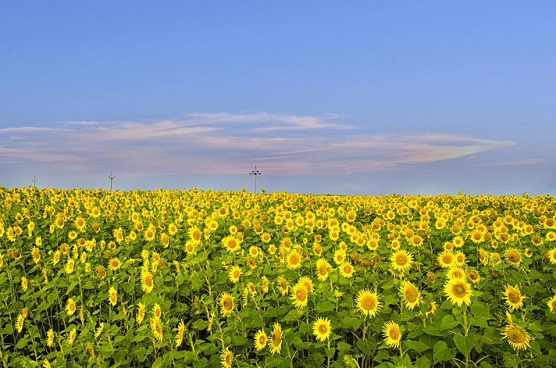 向日葵,马尔凯大区,罗马涅大区,景观设计,色彩鲜艳,自然美,农场,植物,2015年,夏天