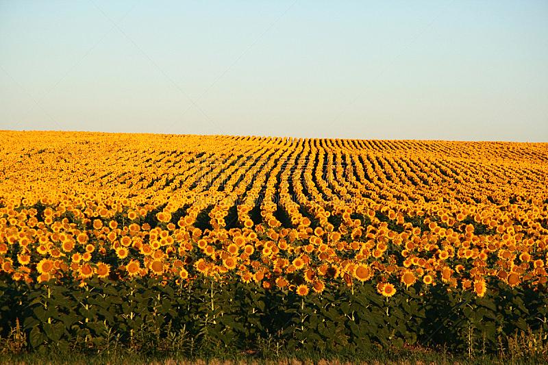 向日葵,黎明,水平画幅,无人,户外,太阳,农作物,田地,平原,彩色图片