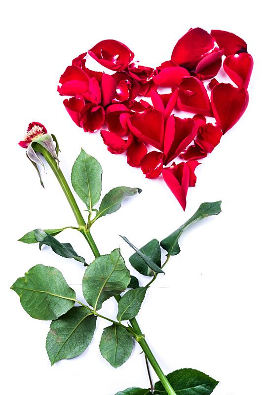 玫瑰,叶子,红色,白色背景,动物心脏,垂直画幅,符号,花束,植物,清新