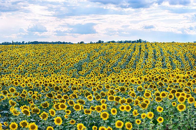田地,向日葵,天空,美,水平画幅,云,无人,夏天,户外,图像