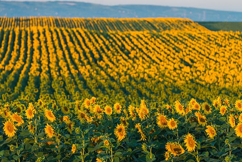 向日葵,美,水平画幅,无人,夏天,户外,特写,开花时间间隔,单一栽培,田地