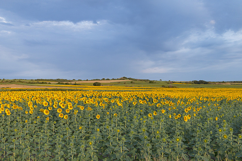 向日葵,田地,葡萄酒厂,种植园,葡萄园,天空,水平画幅,山,无人,夏天