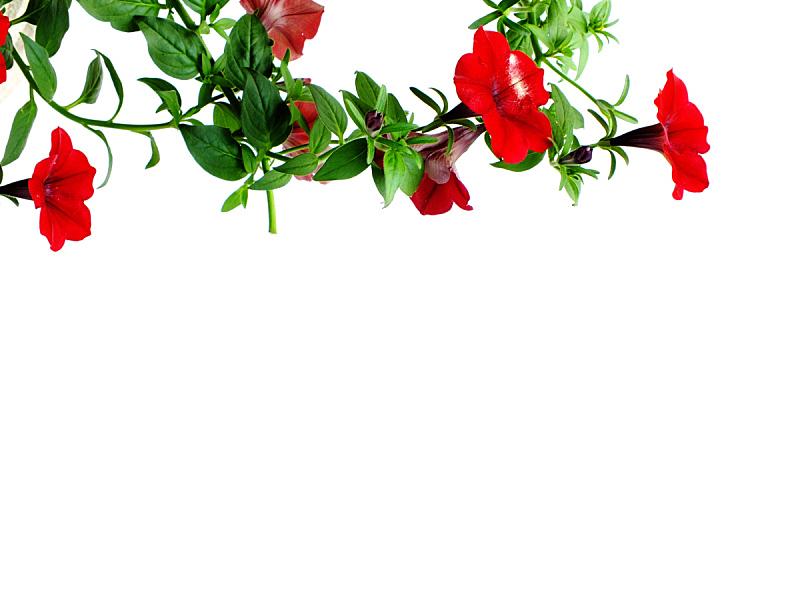 矮牵牛花,白色背景,分离着色,国境线,自然,美,水平画幅,无人,阳台,夏天