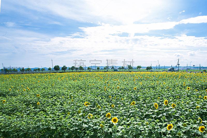 向日葵,自然,水平画幅,无人,日本,夏天,户外,自然美,田地,植物