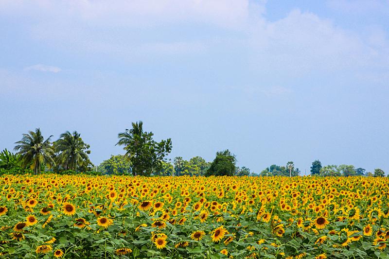 向日葵,天空,水平画幅,无人,户外,戏剧性的天空,仅一朵花,农作物,田地,消失点