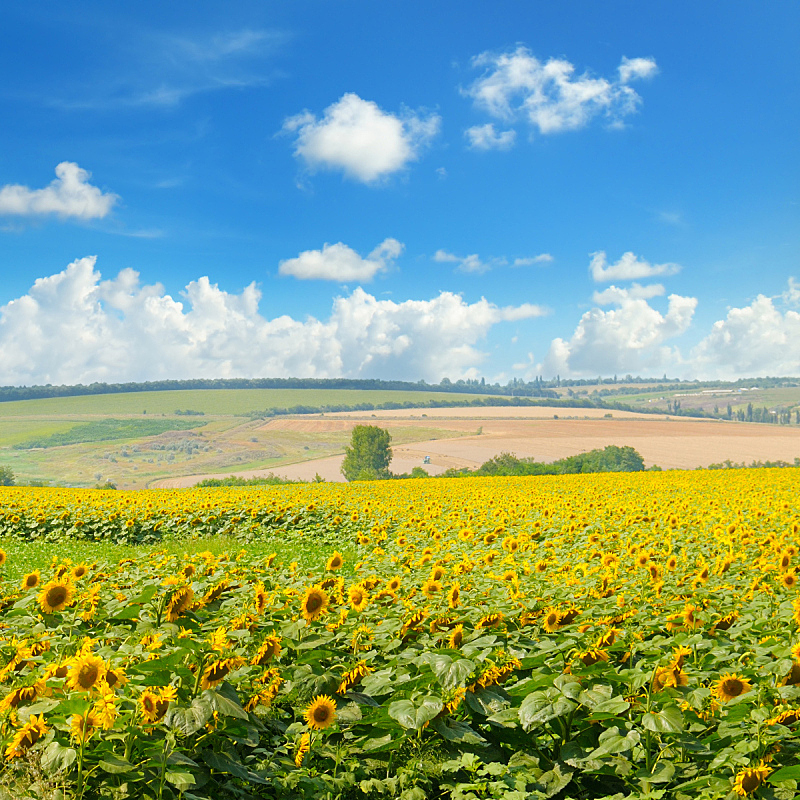 云,田地,向日葵,天空,美,无人,夏天,户外,光,特写
