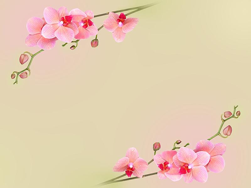 粉色,兰花,蝴蝶兰,自然,水平画幅,无人,浪漫,夏天,华丽的,植物茎