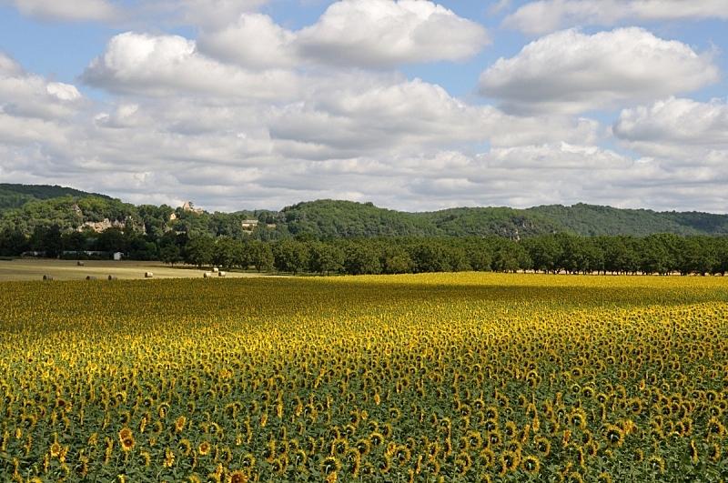 田地,向日葵,农业,自然,多姆,黄色,季节,法国,图像,花朵