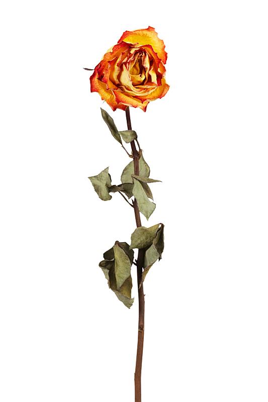 玫瑰,黄色,干的,自然,垂直画幅,枯萎的,仿旧磨损的效果,橙色,无人,死的