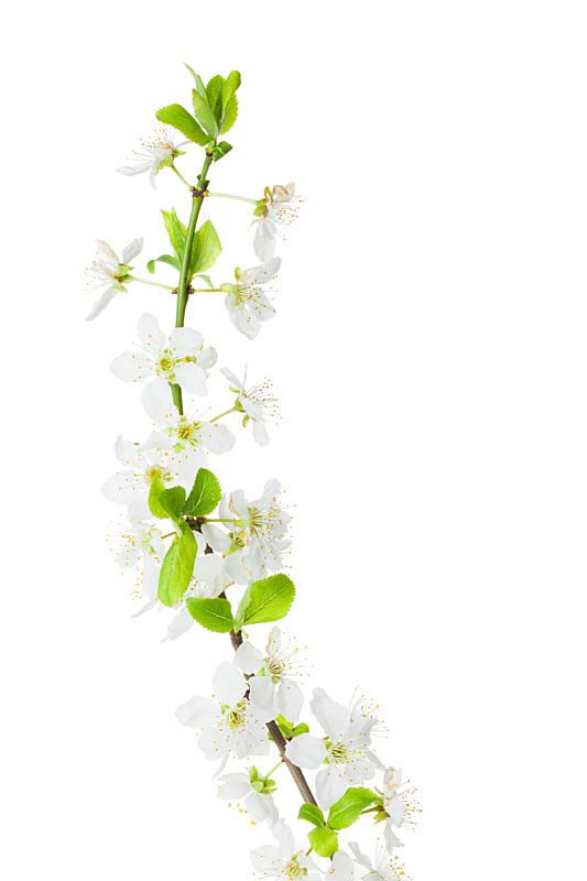 李子,白色背景,自然,垂直画幅,绿色,无人,背景分离,特写,自然美,花蕾