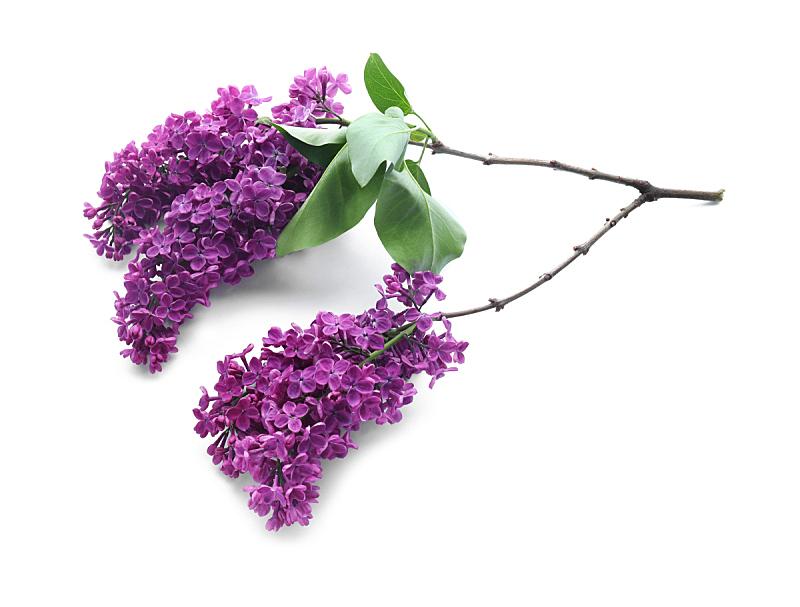 白色背景,花朵,丁香花,自然美,自然,季节,紫色,边框,乌克兰,图像