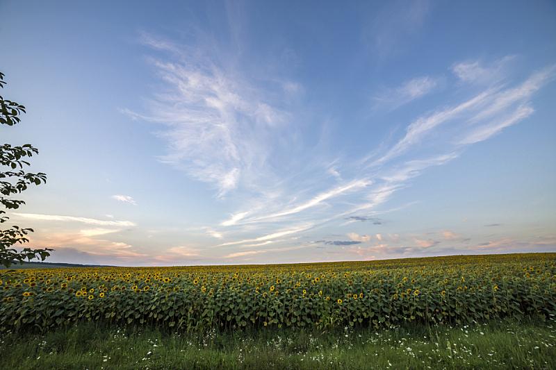 农业,向日葵,黄色,田地,明亮,概念,熟的,香熏油,自然美,花