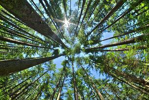 松树,拥挤的,森林,正下方视角,看,天空,水平画幅,无人,透视图,户外