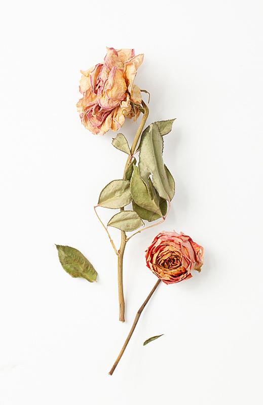 干的,叶子,两个物体,茎,玫瑰,白色背景,死的,浪漫,婚礼,古董
