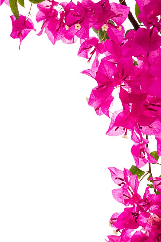 三角梅,分离着色,白色,自然,气候,紫色,垂直画幅,图像,灌木,枝